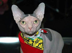 Hairless Cat Breed Sphynx Cat