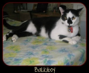 Vote for BalkiBoy in our cat photo competition