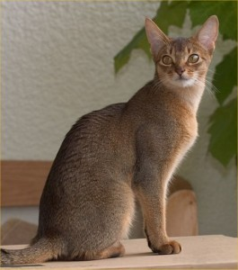 Abyssinian Cats are Kind and Loving!