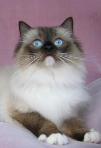Beautiful Ragdoll Cat