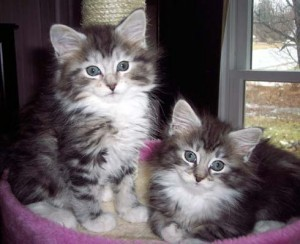 Photo of two sweet Maine Coon Kittens