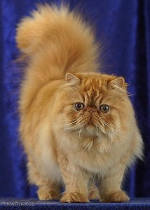 Pretty Persian Cat Photo