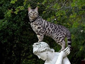 Beautiful Bengal Cat Photo