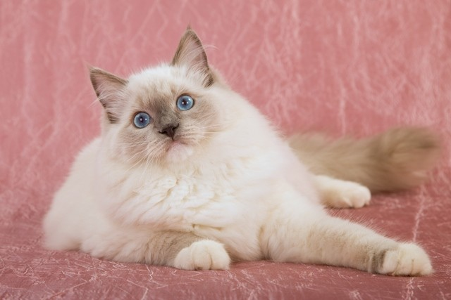 Love Ragdolls Cattery | Ragdoll Cat breeder in USA | Texas, Missouri, South Carolina, Pennsylvania, Nevada and NY Ragdoll Cattery