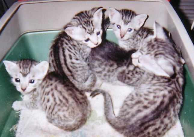 Egyptian Mau Pedigree Kittens for sale in Toronto Ontario Canada