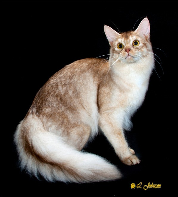 Majorus Cattery | Abyssinian and Somali Cat breeder in USA - NY